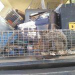 Maine Wildlife Management Gray Squirrel Removal Winterport Maine