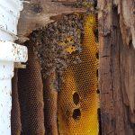 honey bee swarm removal maine