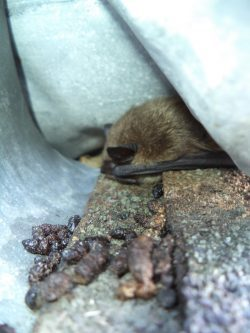 How Safe is Your Home From Bats?