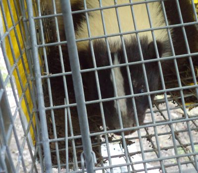 How To Check Your Property For Skunks In 5 Minutes