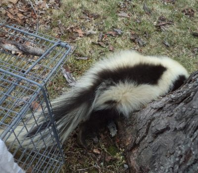 The Warning Signs of Skunks