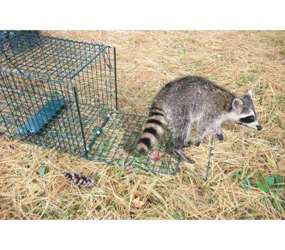 Raccoon Concerns in Bangor, Maine