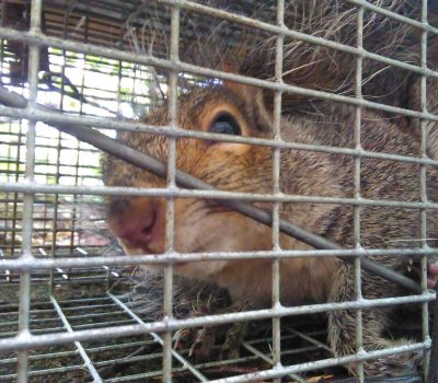 Multi-trap for Gray Squirrels in Central Maine