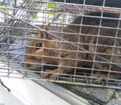 Squirrel Removal Hampden Maine