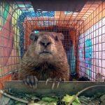 maine wildlife Removal groundhog