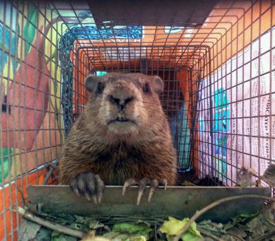 MWM Podcast 007 Groundhog trapping, removal, and advice