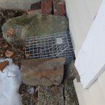 Using one way doors for skunk removal in bucksport maine